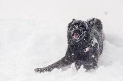 Een zwarte hond in de grappige sneeuw Stock Afbeeldingen