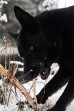 Een zwarte hond die binnen aan de lens kijken Royalty-vrije Stock Foto