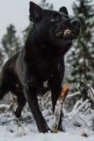 Een zwarte hond die binnen aan de lens kijken Royalty-vrije Stock Fotografie