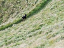 Een Zwarte Hond die de Manier op een weg leiden stock foto