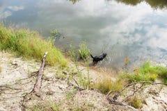Een zwarte hond loopt in de rivier Stock Foto's