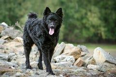 Een zwarte hond op een rots Royalty-vrije Stock Foto