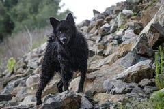 Een zwarte hond op een rots Stock Afbeeldingen