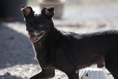 Een Zwarte hond van Chihuahua Jack Russell Terrier stock foto