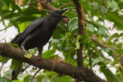 Een zwarte kraai, die luid vanaf de boombovenkanten, aan die in gehoorsafstand, in een weelderig Thais tuinpark kraaien stock afbeeldingen