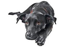 Een zwarte Labrador mengeling stock afbeeldingen