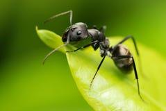 Een zwarte mier stock fotografie