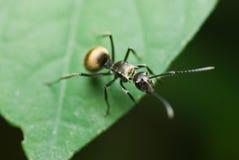 Een zwarte mier Royalty-vrije Stock Foto's