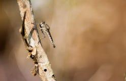 Een zwarte robberfly op bruine stam royalty-vrije stock foto