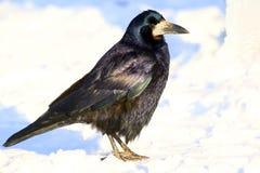 Een zwarte roekvogel bevindt zich in de sneeuw en bekijkt u tegen een vage witte achtergrond royalty-vrije stock afbeeldingen