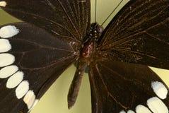 Een zwarte vlinder Stock Afbeelding