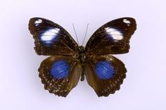Een zwarte vlinder Stock Foto