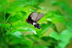 Een zwarte vlinder Royalty-vrije Stock Afbeelding
