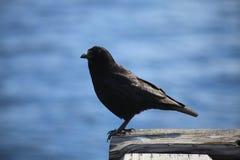 Een zwarte vogel royalty-vrije stock afbeelding