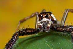 Een zwarte, witte en oranje het springen spin Royalty-vrije Stock Foto
