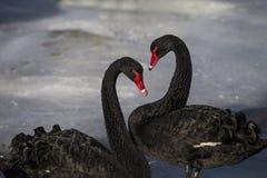 Een zwarte zwaan samen in het ijs royalty-vrije stock fotografie