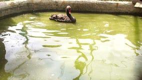 Een zwarte Zwaan zwemt en wast in het kleine meer stock video