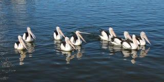 Een zwemmende groep pelikanen Stock Afbeeldingen