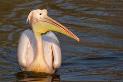 Een zwemmende pelikaan Royalty-vrije Stock Afbeelding