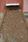 Een zwerm van bijen stock afbeeldingen