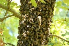 Een zwerm van bijen op een eiken boom stock afbeelding