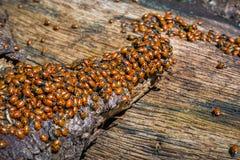 Een zwerm van lieveheersbeestjes royalty-vrije stock fotografie