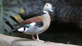 Eend bij het Vogelhuis van Vogelkindgom in Niagara-Dalingen, Canada royalty-vrije stock afbeeldingen