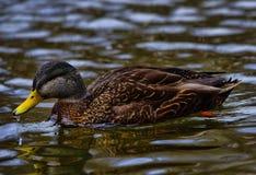 Eend in Bowring-Park Duck Pond Royalty-vrije Stock Afbeelding