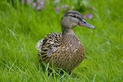 Eend in de Weide Wilde eend - een vogel van de familie van eendendetachement van watervogels De beroemdste en gemeenschappelijke  royalty-vrije stock afbeelding