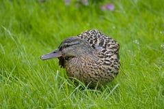 Eend in de Weide Wilde eend - een vogel van de familie van eendendetachement van watervogels De beroemdste en gemeenschappelijke  stock afbeeldingen