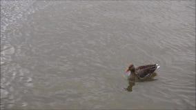 Eend die alleen zwemmen stock footage