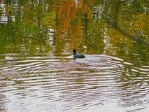 Eend die bij een meer dichtbij Tirana, Albanië zwemmen royalty-vrije stock foto's