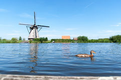 Eend die door een meer in Kinderdijk zwemmen, Nederland Royalty-vrije Stock Fotografie