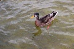 Eend die in een vijver zwemmen Royalty-vrije Stock Foto