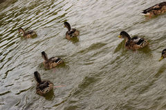 Eend die in een vijver zwemmen Stock Fotografie