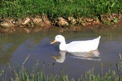 Eend die en in het water op een zonnige dag zwemmen baden royalty-vrije stock foto's