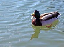 Eend die in het meerwater met open bek zwemt royalty-vrije stock fotografie