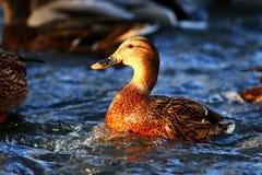 Eend die in koude vijver zwemmen Stock Foto