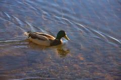 Eend die in meer zwemmen Royalty-vrije Stock Foto's