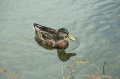 Eend die in meer zwemmen royalty-vrije stock fotografie