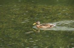 Eend die in meer zwemmen Stock Foto