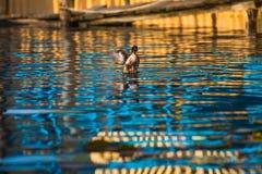 Eend die in meer zwemmen Royalty-vrije Stock Foto