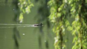 Eend die in moeras in zonlicht door de bladeren zwemmen stock footage