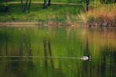 Eend die op het meer zwemmen Royalty-vrije Stock Afbeelding