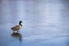 Eend die op ijs loopt Stock Afbeeldingen