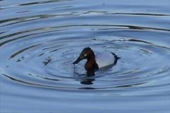 Eend die rimpelingen in water maken stock footage