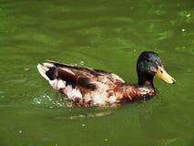 Eend die in water zwemmen stock foto's