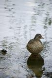 Eend die zich in een meer bevindt Royalty-vrije Stock Foto's