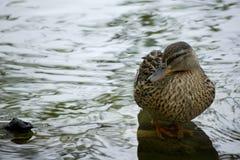 Eend die zich in een meer bevindt Royalty-vrije Stock Afbeeldingen