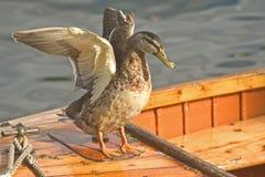 Eend die zijn vleugels uitspreidt. Royalty-vrije Stock Afbeelding